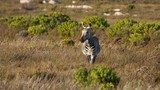 Inquisitive cape mountain zebra stands and looks at the camera - 175699597