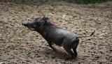 common warthog (Phacochoerus africanus) - 175714371