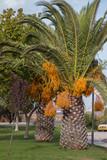 Date palm tree - 175718511