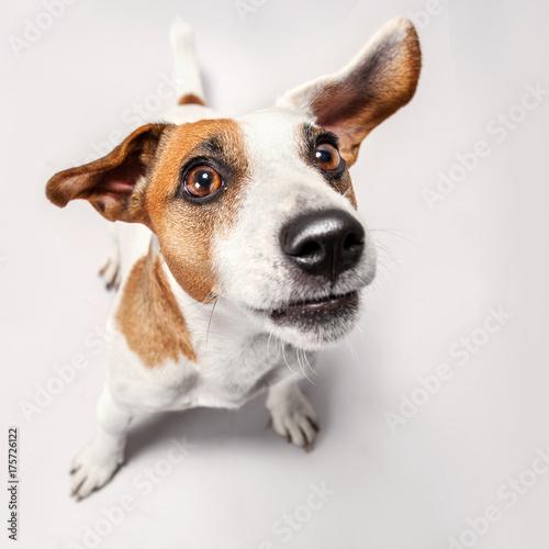 Naklejka Little dog at studio