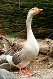 Closeup shot of big adult goose - 175728970