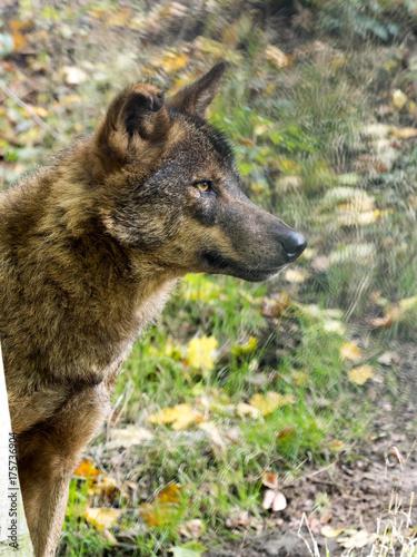 Fotobehang Wolf Iberian wolf, Canis lupus signatus, is hidden behind a tree