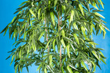 A bamboo tree in a pot on a blue background