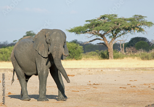 Large Bull elephant on the empty african plains with an acacia tree in the background, Hwange, Zimbabwe