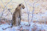 An elusive sighting of an African Leopard sitting within the bush veld in Etosha,  - 175749164