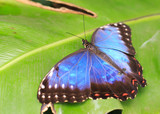 Large Blue Butterfly resting on a vibrant green leaf - 175749522