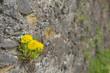 Dandelions In Medieval Rock Wall - 175755959