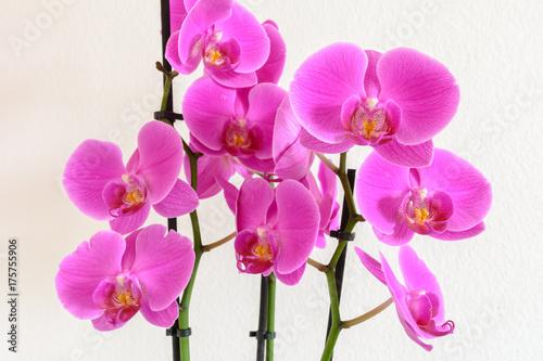 Orchidee in pink isoliert auf weiss - 175755906