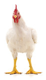 White rooster. - 175759725