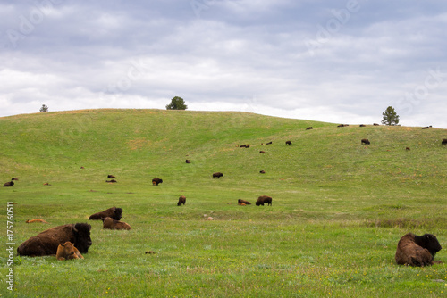 Fotobehang Bison Cattle on a hill