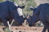 Rhino battle - 175761105
