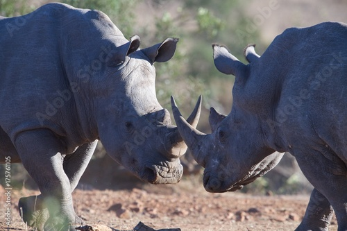 Fotobehang Neushoorn Rhino battle