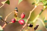 Detail of wild red rosehip brier on autumn - 175761547