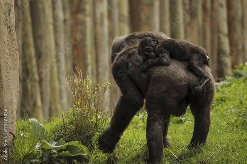 Młody goryl z matką Poster