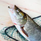 The Asp fish - Aspius Aspius. Fishing catch of predatory fish. - 175765512