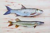 The Asp fish - Aspius Aspius and a Northern Pike - Esox Lucius. Fishing catch of predatory fishes. - 175765537
