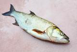The Asp fish - Aspius Aspius. Fishing catch of predatory fish. - 175765552