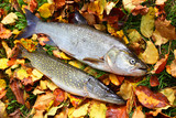 The Asp fish - Aspius Aspius and a Northern Pike - Esox Lucius. Fishing catch of predatory fishes on autumn leaves. - 175765573
