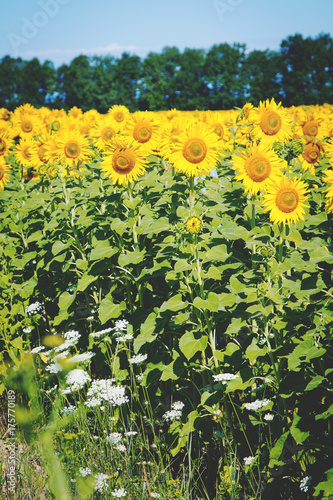 Aluminium Geel field of sunflowers