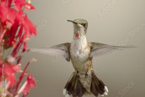 Młody samiec rubinowate koliber