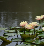 Water Lily Garden Pond Scenery - 175785108