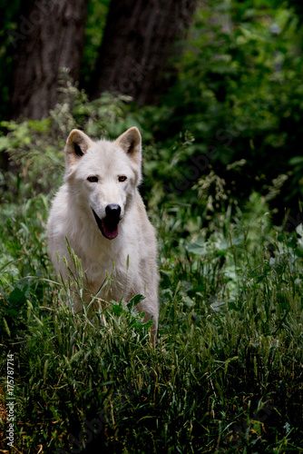 Fotobehang Wolf White Wolf