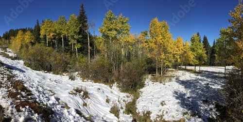 Autumn aspen trees in Colorado