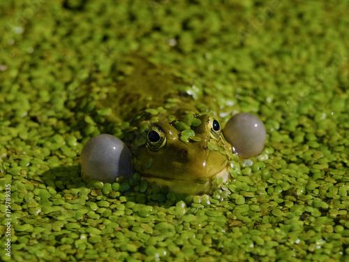 Fotobehang Kikker Marsh Frog (Rana ridibunda)