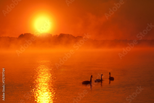 Foto op Canvas Baksteen Three swans sailing on a lake covered with light, morning mist at sunrise