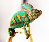 chameleon photo - 175797975