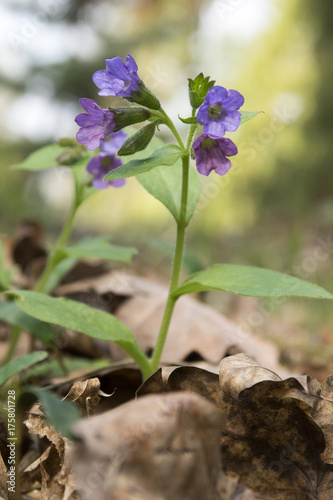 Pulmonaria officinalis in bloom, early springtime Poster