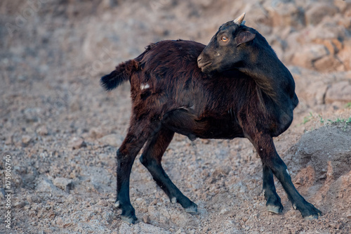 Foto op Plexiglas Bleke violet Goat at the beach at sunset in Indonesia