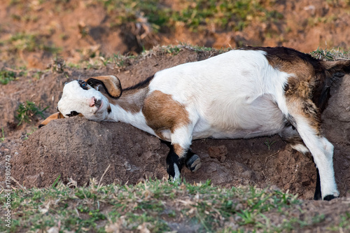 Tuinposter Zwart Goat at the beach at sunset in Indonesia while scratching on rock