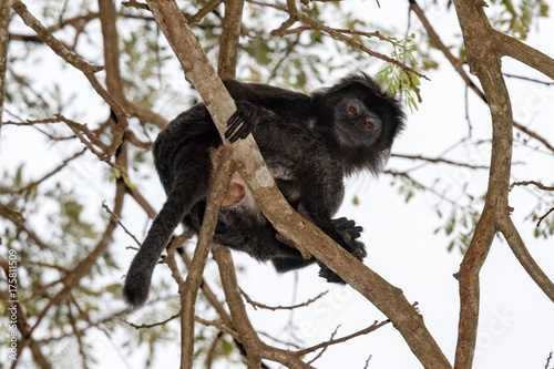 Fotobehang Aap Indonesia black crested macaque monkey ape close up portrait