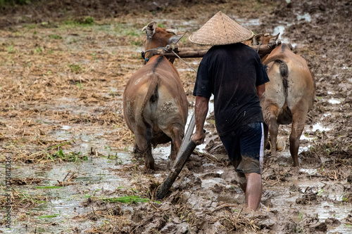 Fotobehang Bali man while plowing rice field in bali with cow plough