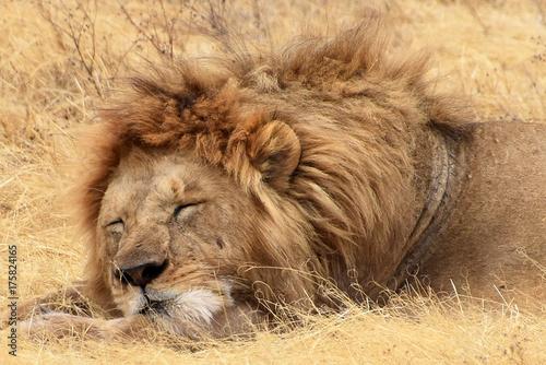 Aluminium Lion Male Lion resting at Ngorongoro crater, Tanzania