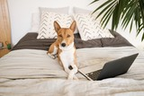 Serious sleepy basenji dog lays on cozy bed with pillows in bedroom next to his laptop computer and looks in camera tired of work.