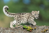 Single snow leopard cub prowling on rocky surface