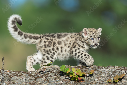 Aluminium Kat Single snow leopard cub prowling on rocky surface
