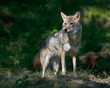 Female adult coyote (Canis latrans) standing in beam of light shining through the forest