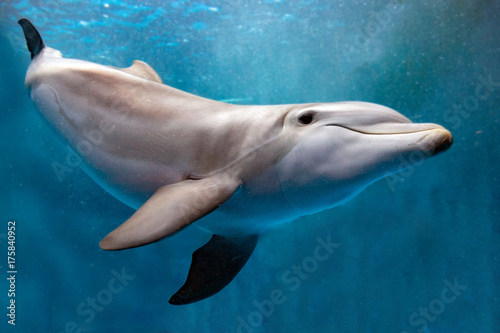 dolphin underwater on blue ocean close up look