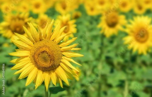 Poster Oranje Sunflowers field landscape.