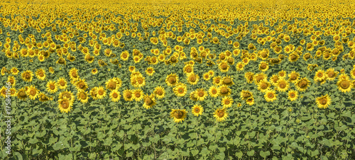 Tuinposter Honing Sunflowers field landscape.