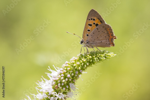 Fotobehang Vlinder Small or common copper butterfly lycaena phlaeas closeup
