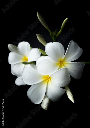 Fotobehang Plumeria White Plumeria or frangipani in black background theme
