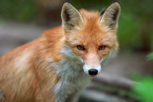 Portrait of a red fox (Vulpes vulpes)