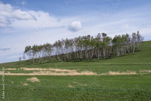 Молодая берёзовая роща на зелёном холме.