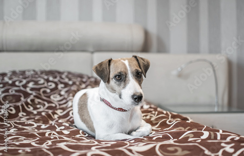 Cute Small White Dog Jack Russle Terrier Resting On A Bed In A Nice