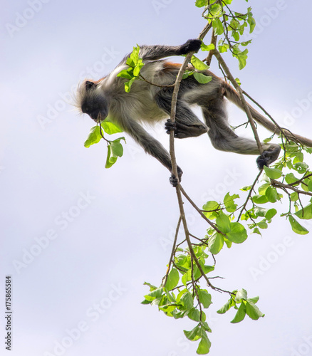 Fotobehang Aap Monkey on thin branches. Kirk's red colobus.