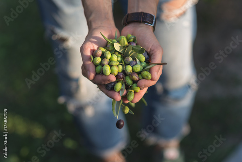 Poster Nice Handful of olives, Taggiasca or Cailletier, cultivar grown primarily in Southern France near Nice and in the Riviera di Ponente, Liguria, Italy